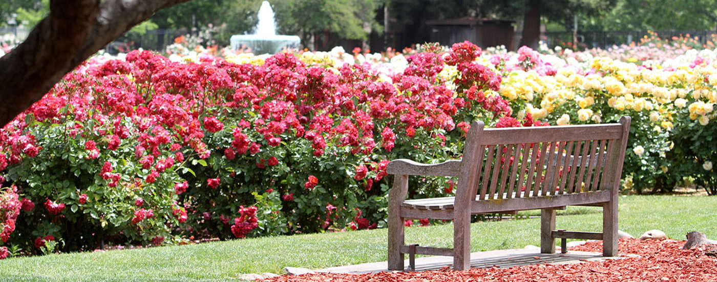 The San Jose Municipal Rose Garden Is A Rose Garden Located At The  Intersection Of Naglee And Dana Avenues, San Jose, California, In The Rose  Garden ...